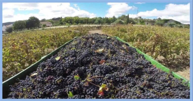wine-harvest-portugal